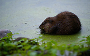 Common muskrat, surrounded by duckweed, cleaning it's food in the lake shallows