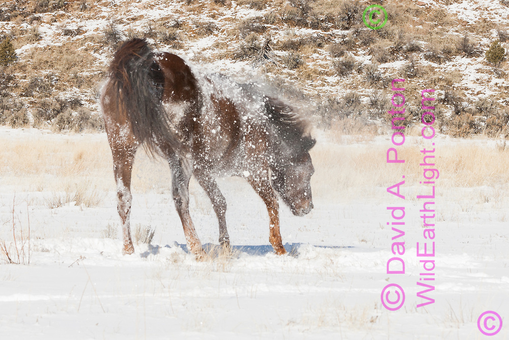 American Quarter Horse shaking out after rolling in fresh snow,  © 2009 David A. Ponton [[Prints to 8x12, 16x24, 24x36 or 40x60 in. with no cropping]