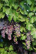 Black Beauty Grapes grow on an arbor.