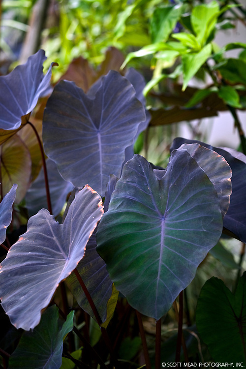 Hawaii Colocasia Elephant Ears plant in Hana, Maui, Hawaii