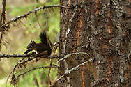 Red squirrel with a douglas fire pine cone in fall. Glacier National Park, northwest Montana.