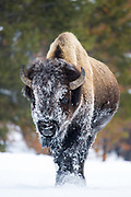 American bison (Bison bison) covered with frost on its face walking on snow covered road during winter in Yellowstone National Park