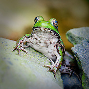 face to face with Green Frog