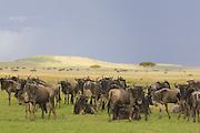 Wildebeest<br /> Connochaetes taurinus<br /> Masai Mara Triangle, Kenya