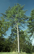 Austrian Pine Pinus nigra ssp. nigra Pinaceae Height to 30m<br /> Broadly conical with a narrow crown. Bark Greyish-brown, becoming darker and rough in older trees. Needles Paired, to 15cm long; stiff with finely toothed margins. Reproductive parts Mature cones, to 8cm long, have keeled, spined scales. Status Native of central Europe. Widely planted here for shelter or ornament and sometimes naturalised.