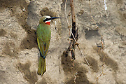White-fronted Bee-eater (Merops bullockoides) at its nesting place in a mud bank at Lake Nakuru NP., Kenya
