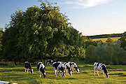 Friesian cows grazing, The Cotswolds, United Kingdom
