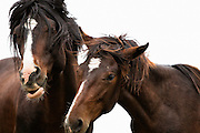 "Tracie spence photographed 2 wild mustangs playing and frolicking together.  She thought about naming this piece ""Moves Like Jagger"" because the male horse with black hair looks so much like Mick Jagger, crazy horses, silly horses, fighting horses,"