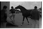 Arrival of Ninski Major and Torus.   (M95)..1979..11.10.1979..10.11.1979..11th October 1979..With the Irish St Ledger to be run, on Saturday 13th Oct, two of the race favourites landed at Dublin Airport today. Ninski Major to be ridden by Willie Carson and Torus to be ridden by John Reid unloaded from the Aer Turas animal transport..Image shows Torus being loaded into the horsebox at Dublin Airport.