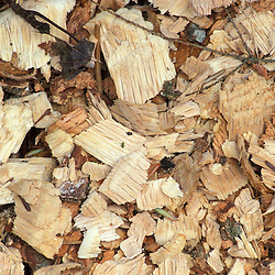 Wood chips created by beaver on a recently purchased TPL property.  Goshen, CT