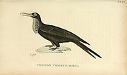 Frigate bird from the 1825 volume (Aves) of 'General Zoology or Systematic Natural History' by British naturalist George Shaw (1751-1813). Shaw wrote the text (in English and Latin). He was a medical doctor, a Fellow of the Royal Society, co-founder of the Linnean Society and a zoologist at the British Museum. Engraved by Mrs. Griffith