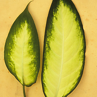Two oval leaves cream with dark green borders of Dumb cane or Dieffenbachia lying on antique paper