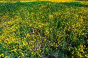 Wildflowers at Carrizo Plain National Monument, California USA