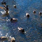A gathering of ducks in the frigid stream that runs off the frozen Tibbets Brook Park lake in Yonkers, New York.