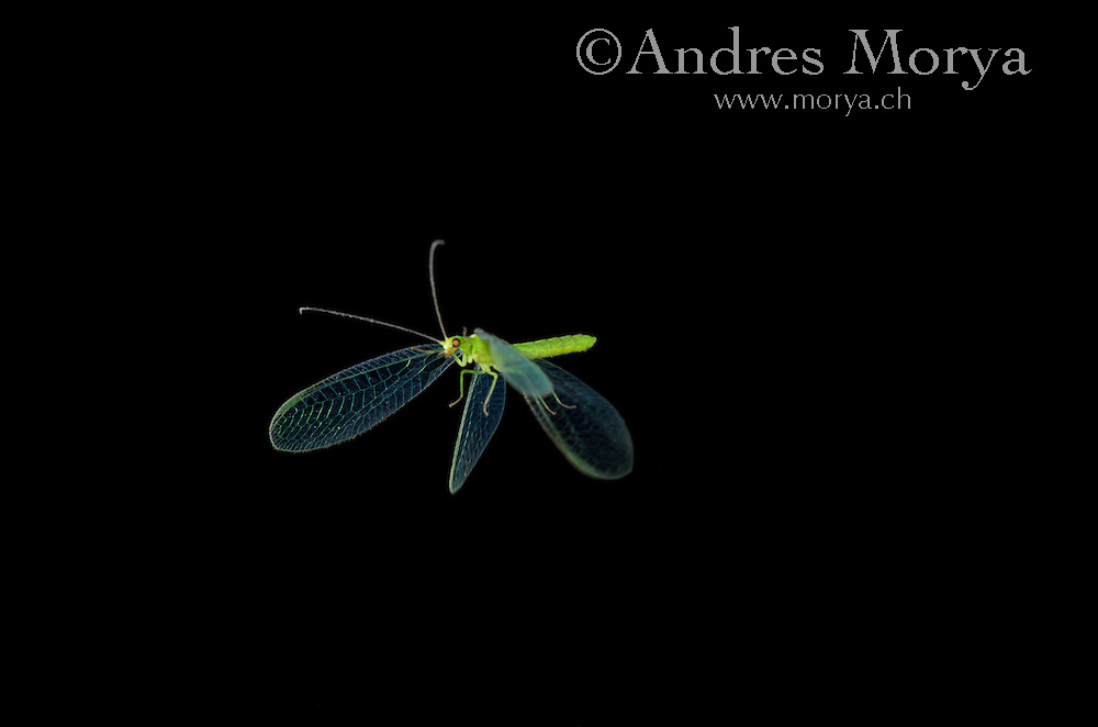 Insect in Flight, High Speed Photographic Technique Common Lacewing in flight (Chrysoperla lucasina) Image by Andres Morya