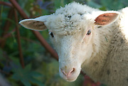 Family farm, sheep, ewe, Hillsdale, NY
