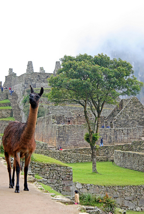 Americas, South America, Peru. Llama at Machu Picchu in Peru.