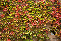 Climbing Boston Ivy on Exterior Wall, Full Frame