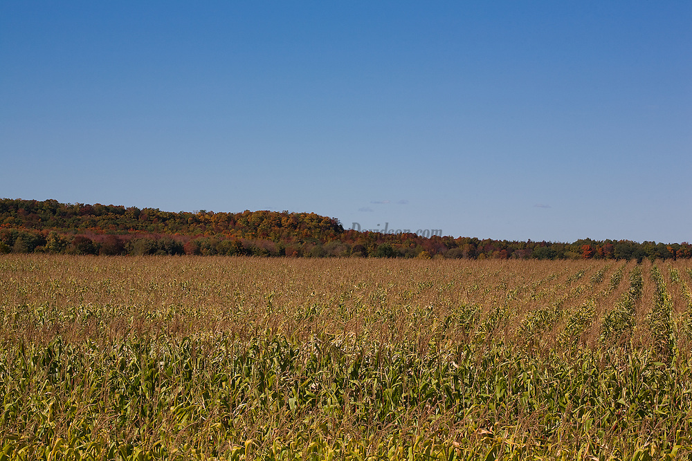 Rows of ripe corn are ready for harvest in Prince Edward County.