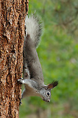 PINE FOREST SPECIALIST: TASSEL-EARED SQUIRREL