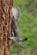 PINE FOREST SPECIALIST: TASSEL-EARED SQUIRREL
