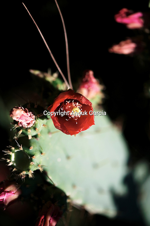 Barbarian Flower | Fleur de figue de barbarie