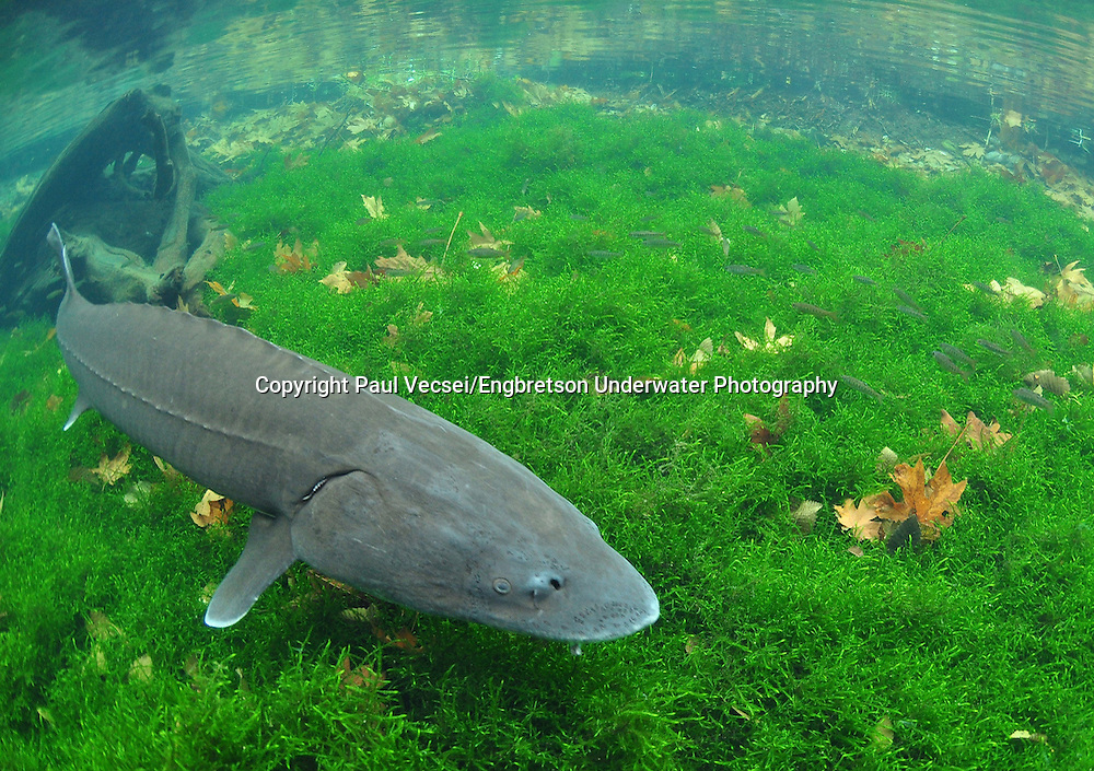 White Sturgeon<br />