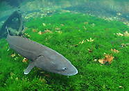 White Sturgeon, Underwater