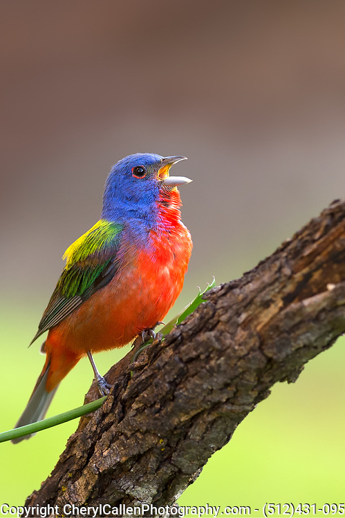 Male Painted Bunting in song