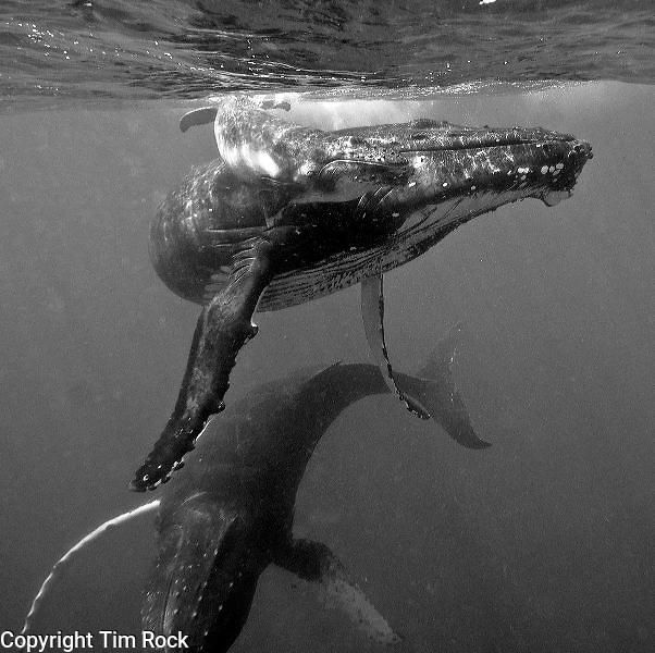 Tonga humpback whales and Fiji sharks September 2011
