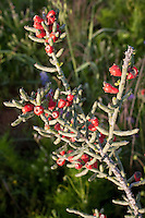 Christmas Cholla fruit, (Cylindropuntia leptocauli), Lllano County, Texas