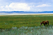 Steppe horse, Bakanas, southern steppes of Kazakhstan