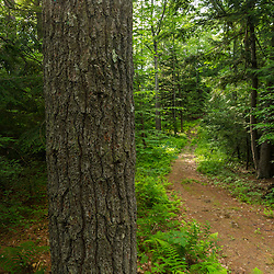 A white pine tree along a woodland trail in Madbury, New Hampshire.