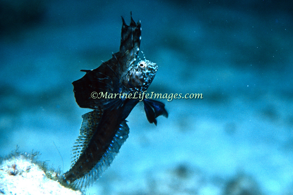 Sailfin Blenny inhabit shallow clear water areas of rock rubble and sand, perch in holes with head and verntral fins exposed Tropical West Atlantic; picture taken Grand Cayman.