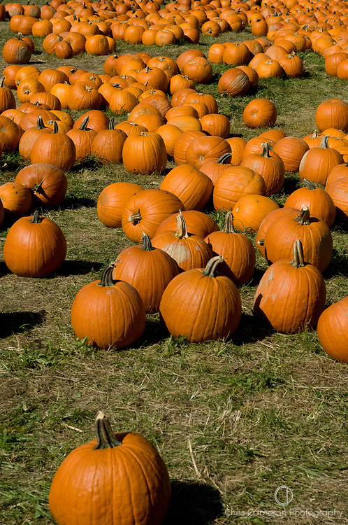Large Pumpkins lying in a grass field.
