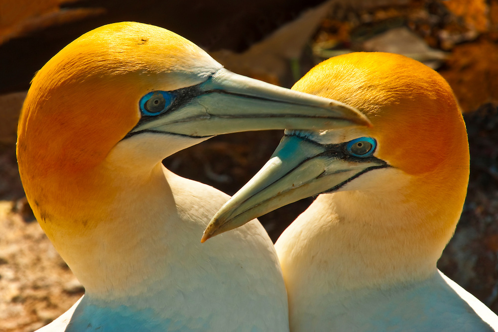 Gannets mating, Cape Kidnappers Gannet Colony, near Napier, Hawke's Bay region, North Island, New Zealand.