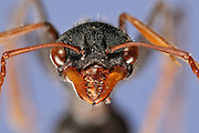 [Digital focus stacking] Ant Portrait.Subfamily: Myrmeciinae .Family: Formicidae .Order: Hymenoptera .Common name: Giant Bull Ant .Myrmecia tarsata