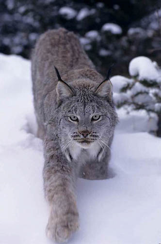 Canada Lynx, (Lynx canadensis) Adult. Montana.Winter.Captive Animal.
