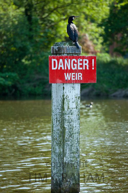 Cormorant bird on Danger Weir sign on the River Thames in Berkshire, UK
