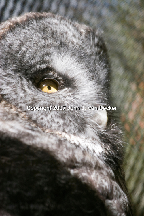 Great Gray Owl, Strix nebulosa , close up of head......Photo taken at The Raptor Trust, one of the premier, privately funded wild bird rehabilitation centers in the United States. The Raptor trust is recognized as a national leader in the fields of raptor conservation and avian rehabilitation.