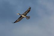 Skarv i flukt | Cormorant in flight.