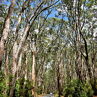 Canopy of Trees near Apollo Bay on Great Ocean Road, Australia <br />