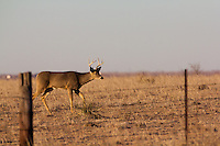 WHITETAIL BUCK NEAR A FENCE
