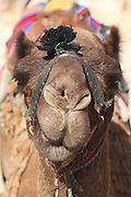Close-up portrait of a camel, Negev, Israel
