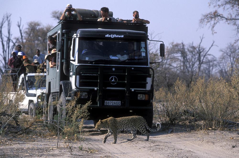 Botswana, Moremi Game Reserve,  Adult Female Leopard (Panthera pardus) walks past line of safari trucks near Khwai River