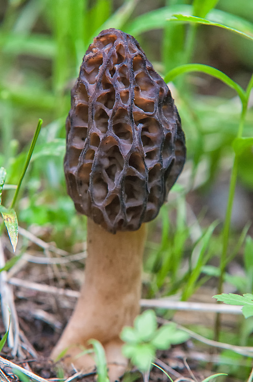 The culinary delicacy known as the black morel is found in many places throughout the Pacific Northwest. This one was one of a few found near the top of the heavily forested Larch Mountain - just outside of Portland, Oregon.