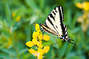 A Western Tiger Swallowtail butterfly, flits about in a meadow of yellow, Mountain Goldenpea flowers in early July along the shores of Fish Lake in Utah.
