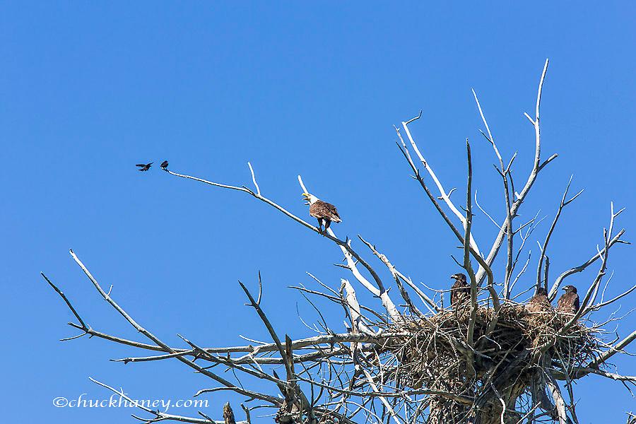 Female Bald eagle squaks at common grackles at nest along the Upper Missouri River Breaks National Monument, Montana, USA