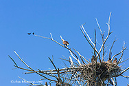 Female Bald eagle squaks at common grackles at nest along the Upper Missouri River Breaks National Monument, Montana, USA
