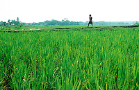 Child walking through ricefield in Southern Bangladesh.
